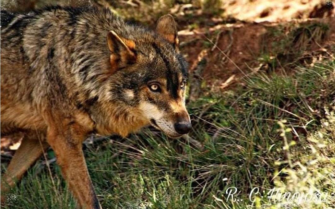 Observación Lobo Ibérico Sierra de la Culebra